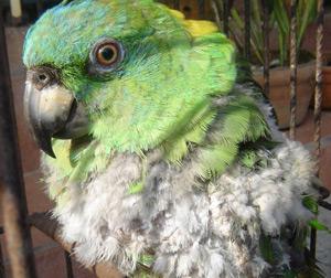 plucking-bird11