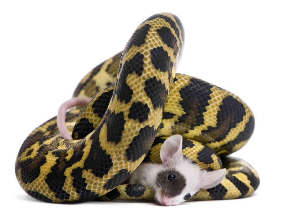 pythonmouse-831f4497c10fbd8d88a044bb21e2cec8c5078745-s6-c30