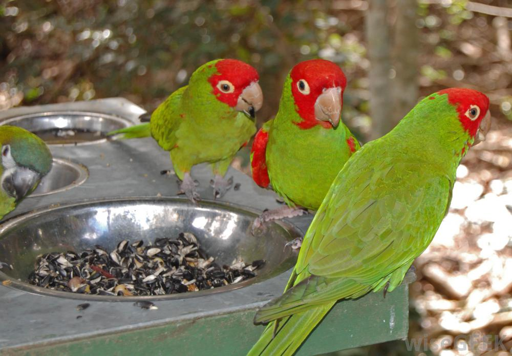 three-red-masked-parakeets-near-food