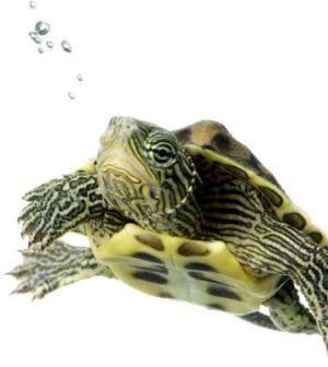 tortuga-agua-xl-668x400x80xX