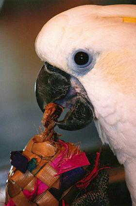triton-cockatoo-play