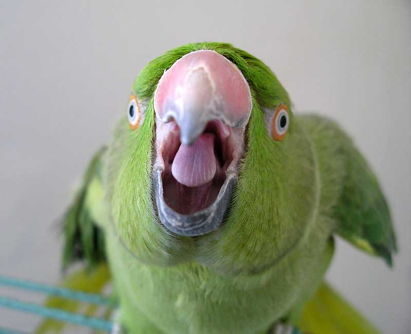 tss_1372944012_parrot-fever