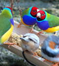two_gouldian_finches_hold_a_conversation_at_the_trough7