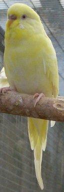 v_yellowfaceino2